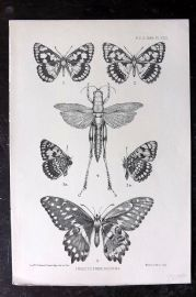 PZS 1898 Antique Insect Print. Insects from Socotra. Butterflies